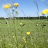 Черно-белые запятнанные коровы в зеленом травянистом луге с панелями солнечных батарей покрыли ферму и голубое небо на солнечный  Стоковые Фото