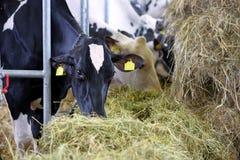 Черно-белые коровы есть сено в конюшне на ферме Стоковое фото RF