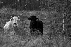 Черно-белые коровы на ферме Стоковая Фотография