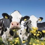 Черно-белые коровы приходят близко к желтым цветкам весны в голландском зеленом травянистом луге под голубым небом в Голландии Стоковые Изображения RF