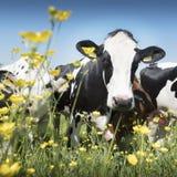 Черно-белые коровы приходят близко к желтым цветкам весны в голландском зеленом травянистом луге под голубым небом в Голландии Стоковое фото RF