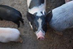 Черно-белые пятна на розовой свинье Стоковое Изображение
