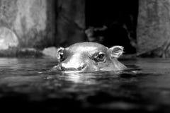 Черно-белый бегемот лежа в воде Стоковые Изображения RF