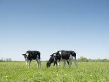 Черно-белый Гольштейн телится в зеленом травянистом луге в голландской весне с голубым небом в Голландии Стоковые Изображения RF