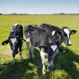 Черно-белый Гольштейн телится в зеленом травянистом луге в голландской весне с голубым небом в Голландии Стоковое фото RF