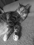 Черно-белый | Дерзкая младшая девушка кота Tabby Стоковые Фотографии RF