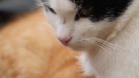Черно-белый конец кота вверх видеоматериал