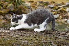 Черно-белый кот для того чтобы заточить свои когти на древесине стоковые фотографии rf