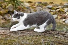 Черно-белый кот для того чтобы заточить свои когти на древесине стоковая фотография