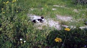 Черно-белый кот на зеленой траве стоковая фотография rf