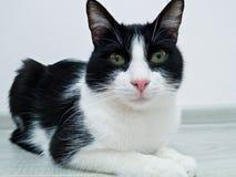 Черно-белый кот отрочества лежит в комнате перед белой стеной Ищущ мастер любознательный взгляд, наблюдая стоковые фото