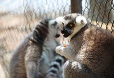 Черно-белый лемур смотря вперед по мере того как он держит часть плодоовощ, приматы strepsirrhine ночные стоковое фото