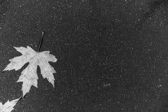 Черно-белый лист на асфальте Стоковые Фотографии RF