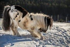 Черно-белый пони обхватывая в снеге стоковая фотография rf