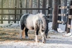 Черно-белый пони Shetland ест сухую траву в paddock зимы, Стоковое Фото