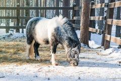 Черно-белый пони Shetland ест сухую траву в paddock зимы, Стоковая Фотография