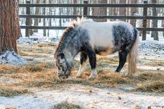 Черно-белый пони Shetland ест сухую траву в paddock зимы, Стоковая Фотография RF