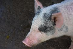 Черно-белый поросенок с розовыми ушами и рыльцем Стоковые Изображения