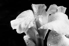 Черно-белый цветок с капельками на лепестках стоковое фото rf