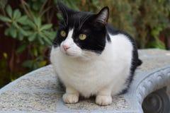 Черно-белый шикарный кот садился на насест в густолиственной щетке стоковое изображение