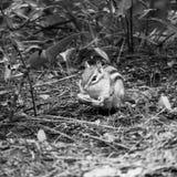 Черно-белый экологический портрет Сибирского бурундука стоковые фотографии rf