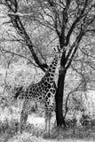 Черно-белый Giraffa жирафа в национальном парке Tarangire, Танзании Стоковые Изображения RF