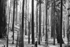 Черно-белым лес чужеземца сгорели ландшафтом, который с черным деревом Tr стоковое изображение