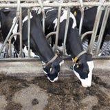 3 черно-белых коровы в конюшне Стоковая Фотография RF