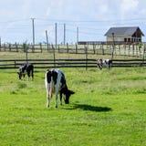 3 черно-белых коровы пасут на зеленой лужайке около их фермы Стоковое Изображение