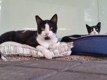 2 черно-белых кота отдыхая в улице Стоковые Фотографии RF