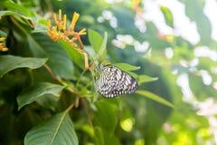 Черно-белая бабочка на оранжевых цветках Стоковые Изображения RF