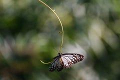 Черно-белая бабочка на парке бабочки KuangSi prabang luang Лаоса Стоковая Фотография RF