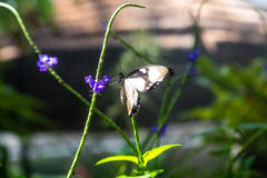 Черно-белая бабочка на фиолетовом цветке Стоковое Изображение RF