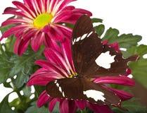 Черно-белая бабочка Хелена Стоковая Фотография