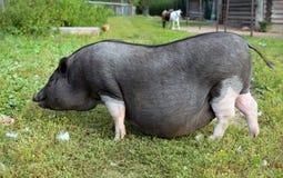 Черно-белая беременная свинья на свободной ферме ряда Стоковая Фотография RF