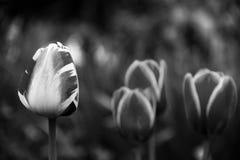 Черно-белая весна Стоковая Фотография