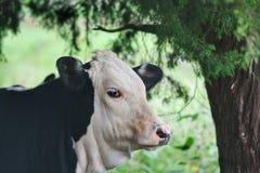 Черно-белая голова коровы Стоковые Фотографии RF