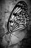Черно-белая закрытая, который бабочка подогнали в monochrome Стоковые Изображения