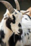 Черно-белая коза Стоковое фото RF