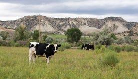 Черно-белая корова Стоковые Изображения RF