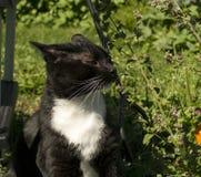 Черно-белая кошачая мята обнюхивать кота смокинга Стоковые Изображения RF