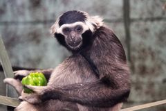 Черно-белая обезьяна есть зеленый перец Стоковые Фото