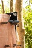 Черно-белая обезьяна guereza Colobus colobus Стоковое Изображение RF
