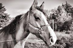 Черно-белая лошадь Стоковая Фотография