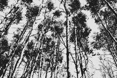 Черно-белая предпосылка сосен Стоковое Изображение
