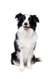 Черно-белая собака Коллиы границы Стоковое Фото