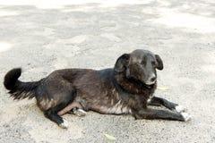 Черно-белая собака посвященно смотрит хозяина стоковое фото