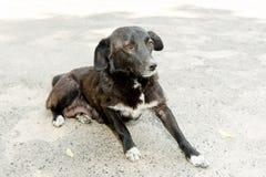 Черно-белая собака посвященно смотрит хозяина стоковая фотография rf