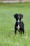 Черно-белая собака стоя в траве вытаращить интенсивно на камере Стоковая Фотография RF