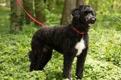 Черно-белая собака стоковое фото